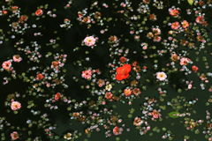 Spring flowers in water. Spring flowers in the pond Royalty Free Stock Image