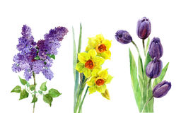 Spring flowers watercolor lilac, tulip, narcissus set isolated Stock Photos