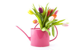 Spring flowers in watering can Royalty Free Stock Image