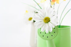 Spring Flowers and Watering Can Royalty Free Stock Photo