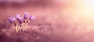 Spring flowers web banner. Pink spring flowers website banner with copy space royalty free stock photography