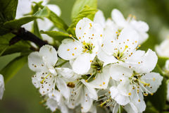 Spring Flowers. White Spring Flowers on Branch stock photo