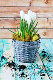 Spring flowers, white crocus Royalty Free Stock Photography