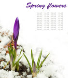 Spring flowers, white-dark blue crocuses Royalty Free Stock Photography