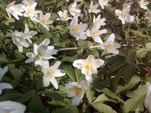 Spring flowers white Royalty Free Stock Images