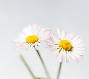 Spring flowers, white marguerites Stock Photo