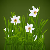 Spring flowers white narcissuses Stock Photos