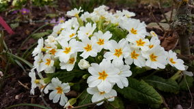 Spring Flowers. White and orange flowers blooming in March. Black forest, Germany Stock Image