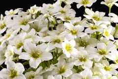 Spring flowers of white  Saxifraga paniculata  on black backgroud Stock Images