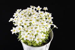 Spring flowers of white  Saxifraga paniculata in pot on black background. Royalty Free Stock Images