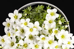 Spring flowers white Saxifraga paniculata in pot on black background. Royalty Free Stock Images