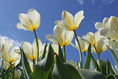 Spring flowers - white tulips Royalty Free Stock Image