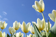 Spring flowers - white tulips Royalty Free Stock Images