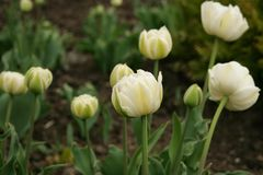 Spring flowers - white tulips stock images