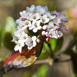 Spring flowers - White Viburnum Royalty Free Stock Images