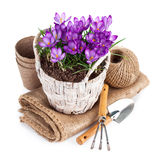 Spring flowers in wicker basket with garden tools Royalty Free Stock Photo