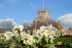 Spring flowers with Wigan Parish Church background. Royalty Free Stock Images
