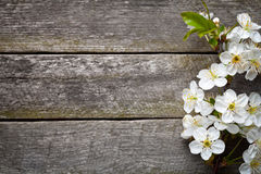 Spring Flowers. On wood background. Cherry blossom. Top view Stock Images
