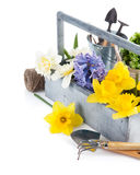 Spring flowers in wooden basket with garden tools Royalty Free Stock Photography
