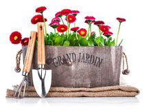 Spring flowers in wooden basket with garden tools Royalty Free Stock Images