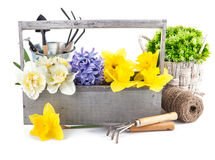Spring flowers in wooden box with garden tools Stock Photo