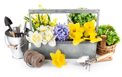Spring flowers in wooden box with garden tools Royalty Free Stock Images