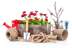 Spring flowers in wooden bucket with garden tools Royalty Free Stock Photo
