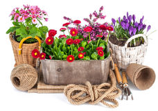 Spring flowers in wooden bucket with garden tools Stock Images