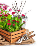 Spring flowers in wooden bucket with garden tools Royalty Free Stock Photos