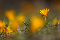 Spring flowers yellow crocus blossoms Royalty Free Stock Images