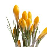 Spring flowers of yellow crocus isolated on white background. Stock Photos