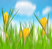 Spring flowers of yellow crocus Stock Images