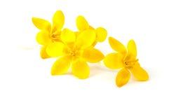 Spring flowers yellow crocus Royalty Free Stock Photo