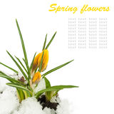 Spring flowers,yellow crocuses, snow Stock Photography