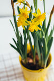 Spring flowers, yellow daffodils in a metal pail-yellow flowerpot. Spring flowers, yellow daffodils in metal pail-yellow flowerpot stock images