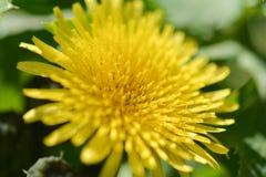 Spring flowers, yellow dandelion macro Royalty Free Stock Photos