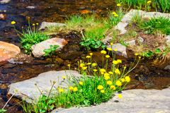 Spring flowers, yellow dandelions royalty free stock images
