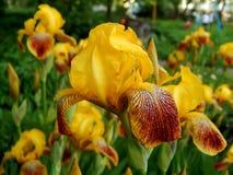 Spring flowers yellow iris Royalty Free Stock Photography