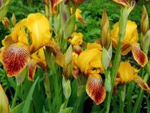 Spring flowers yellow iris Royalty Free Stock Photo