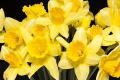 Spring flowers of yellow jonquil on black background. Close up royalty free stock photography