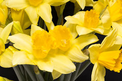 Spring flowers of yellow jonquil on black background. Close up royalty free stock images
