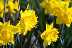 Spring flowers yellow narcissus Stock Photo