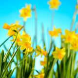 Spring flowers yellow narcissus on blue background Stock Photography