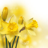 Spring Flowers. Yellow Narcissus Royalty Free Stock Photos