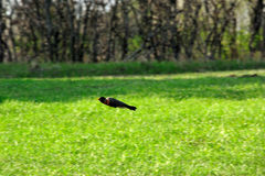 Spring Flying Robin Royalty Free Stock Photography