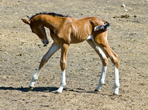 Spring foal Royalty Free Stock Image