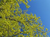 Spring foliage. A background of light green spring tree foliage and a blue sky Royalty Free Stock Photography