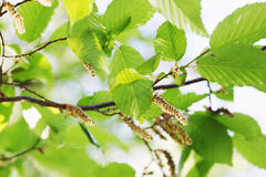 Spring foliage on alder. Bright green spring foliage on alder, background royalty free stock photo