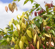 Spring Foliage on Australian Syzygium Lilly Pilly Stock Images