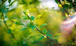 Spring foliage background Royalty Free Stock Photo